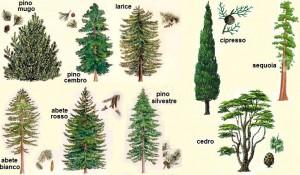 Semi conifere latifoglie venaria reale - Alberi da giardino nomi ...