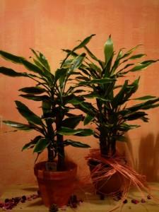 Pianta verde o fiorita magenta - Coprivasi da interno ...