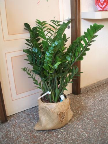 Piante verdi ornamentali abbiategrasso for Piante secche ornamentali