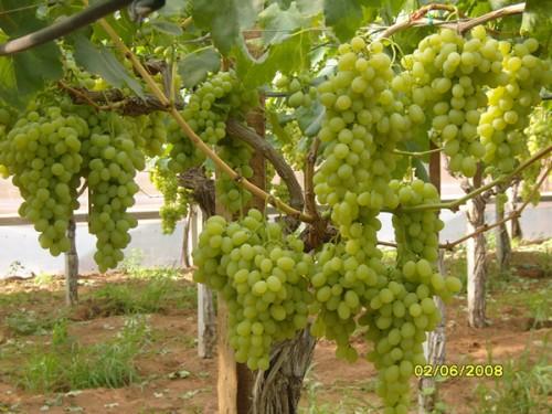 Uva da tavola bianca in serra nella qualita 39 victoria - Uva da tavola coltivazione ...