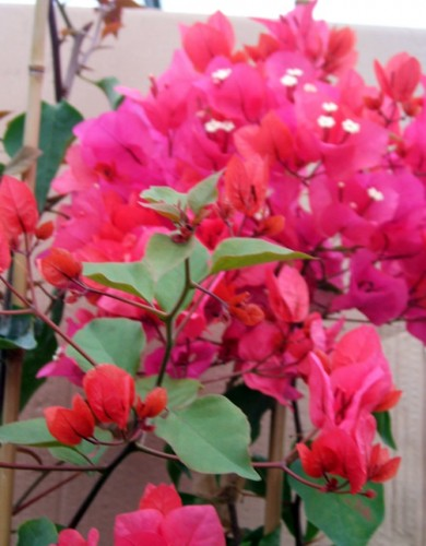 bouganvillea rossa