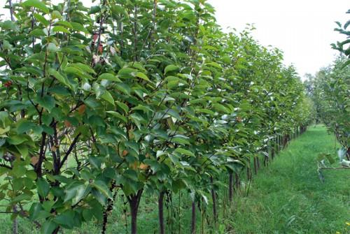 Vendita piante da frutto vivai spallacci piante nelle for Vivai piante da frutto