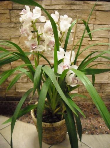 Superb Pianta Di Orchidea (Cymbidium)