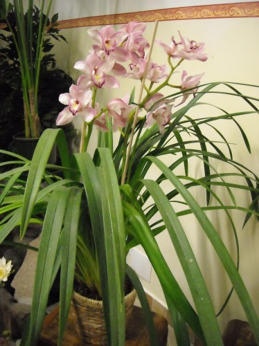Pianta di orchidea cymbidium gaeta - Orchidea da esterno cymbidium ...