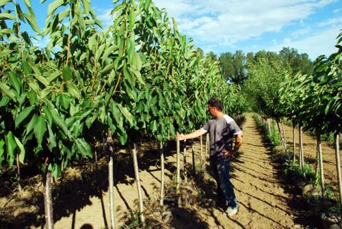 Vendita piante da frutto vivai spallacci piante nelle for Alberi frutta vendita