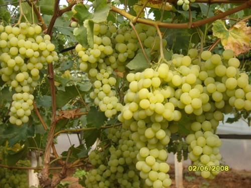 Uva da tavola bianca in serra qualita 39 matilde vittoria - Uva da tavola coltivazione ...