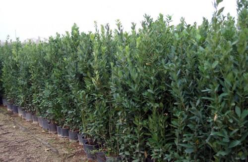 Piante Mediterranee In Vaso : Laurus nobilis alloro rutigliano