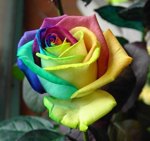 Rose Multicolor Magenta