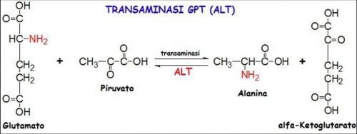 Transaminasi AST(GOT) e ALT(GPT) : (Molfetta)