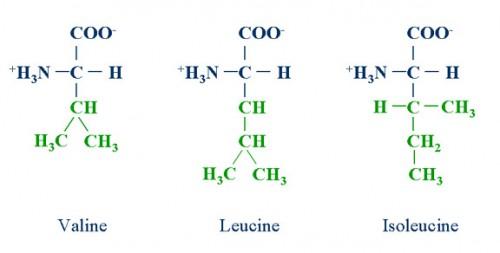 Accenni su: Aminoacidi ramificati