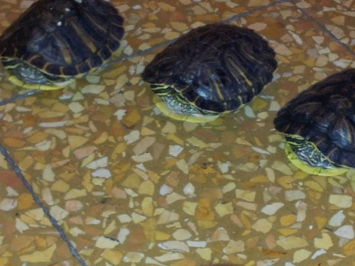 4 tartarughe acquatiche palermo for Tartarughe acquatiche vendita